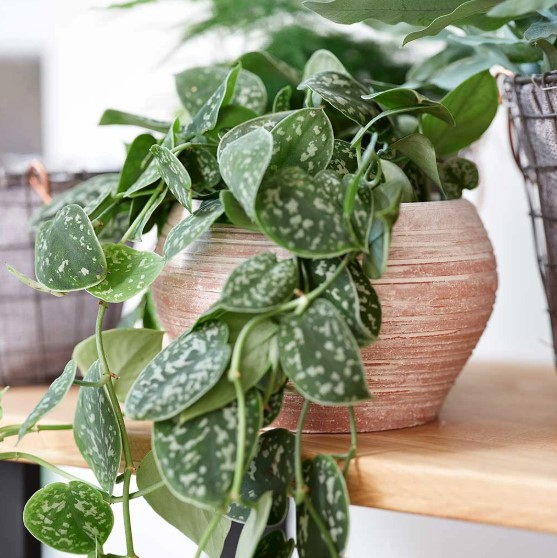 Terra cotta for indoor plants