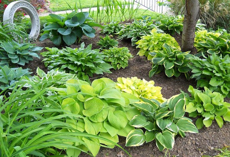 When Is The Right Time To Plant Hostas?